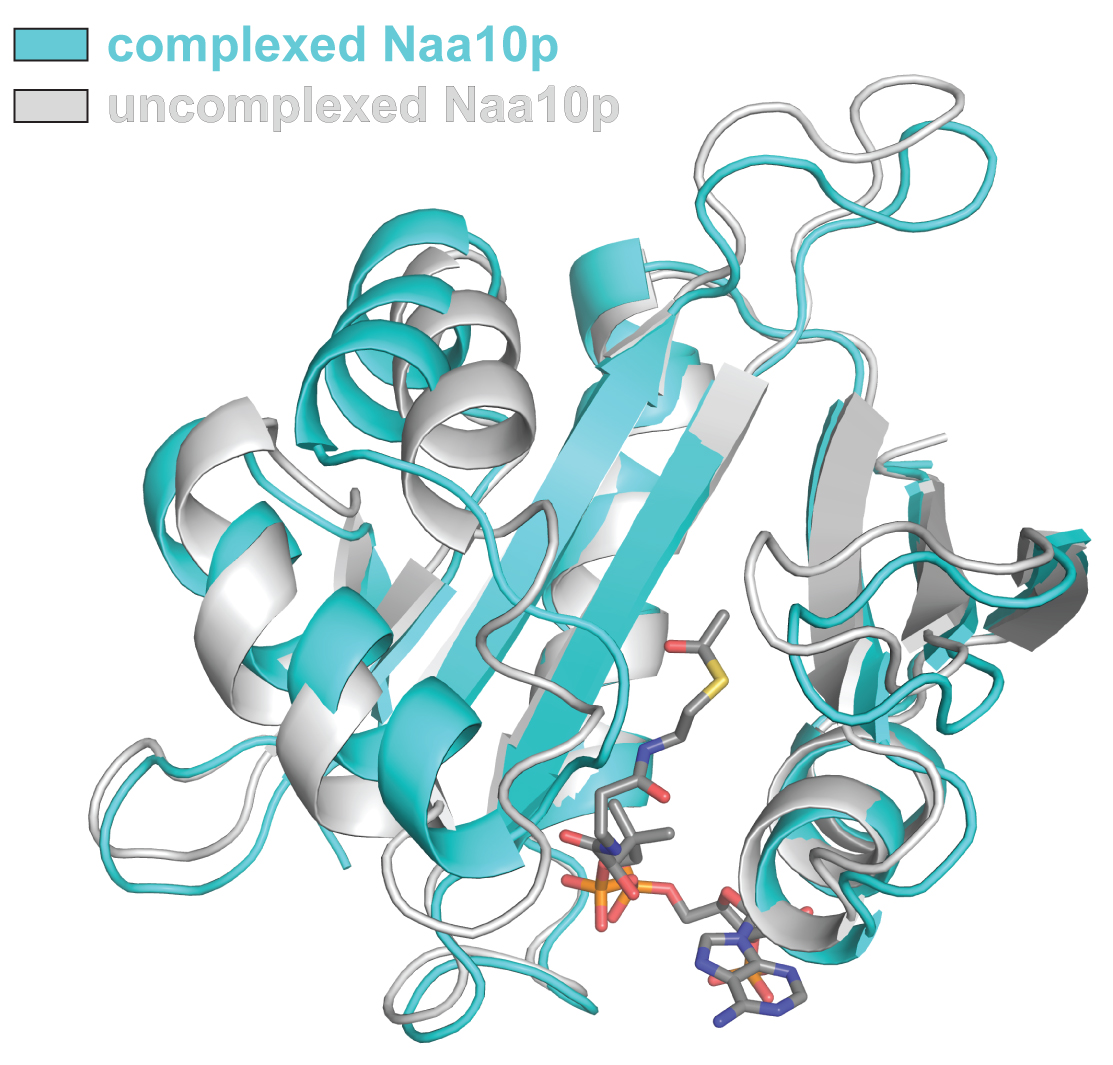 The X-ray crystal structure of the NatA complex.