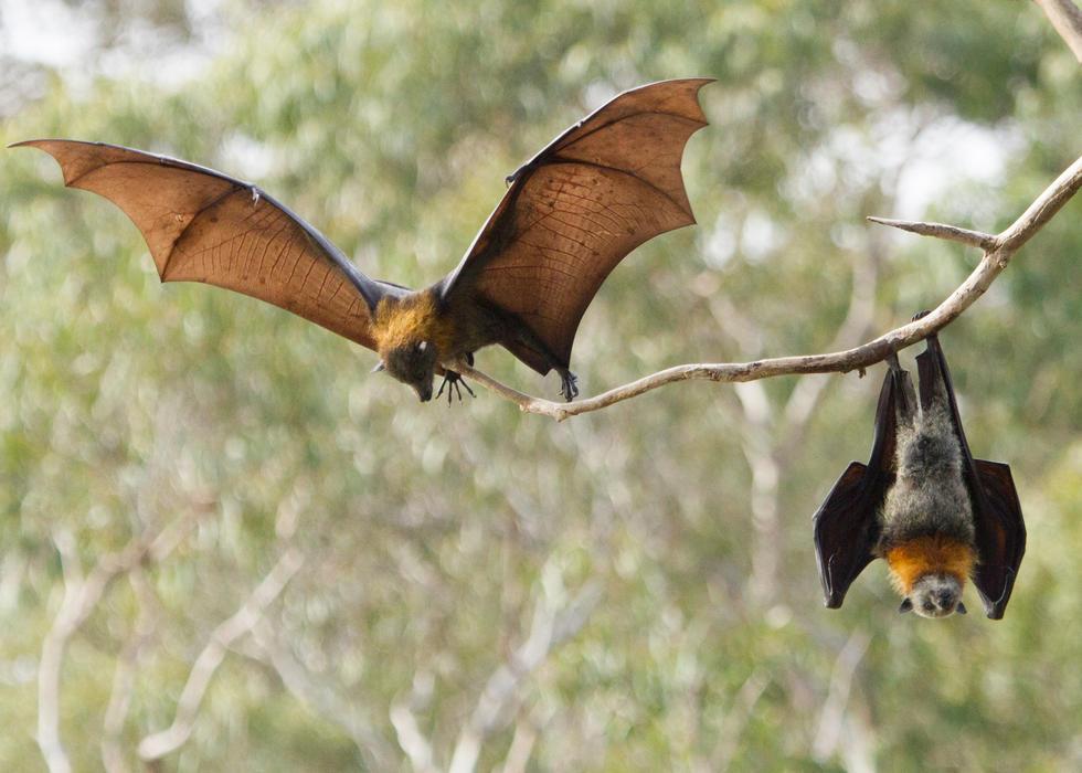 bats in the wild