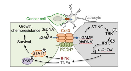 Chen Lab - Metastatic Brain Cancer Cells