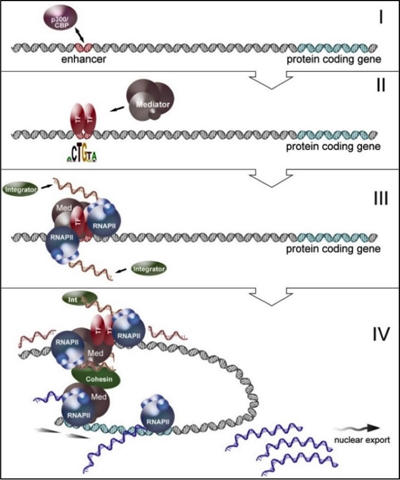Gardini - Transcriptional Activation Mediated by eRNAs