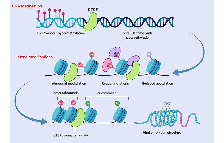 Epigenetic_CTCF_EBV_1