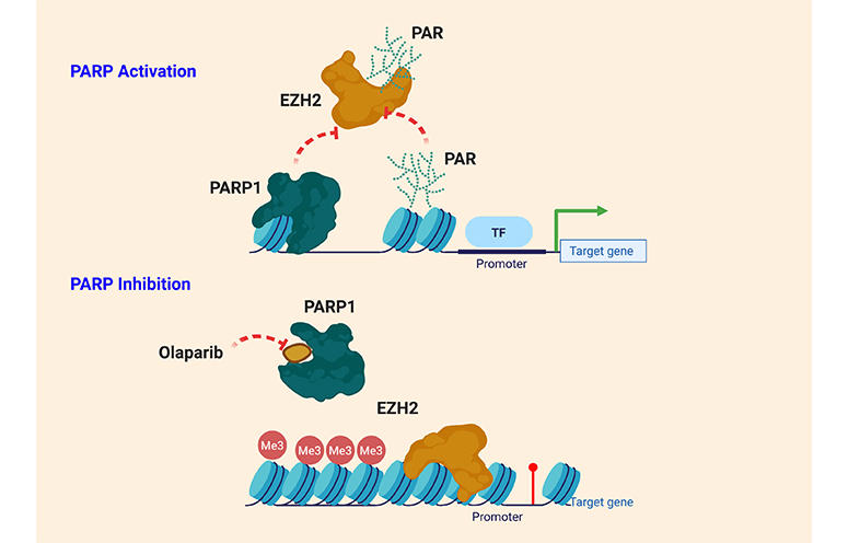 PARP_EZH2_functions_1
