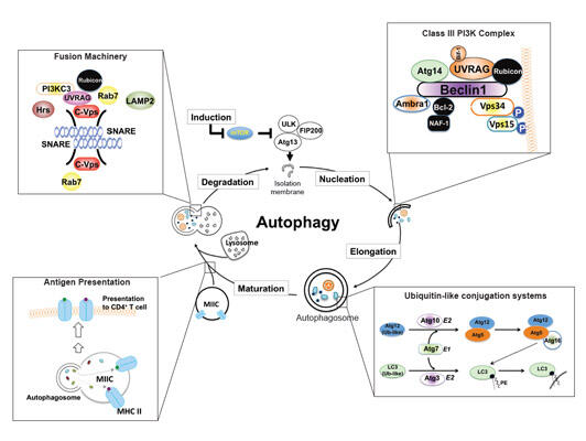 Molecular mechanism of Autophagy and Intracellular Membrane Trafficking