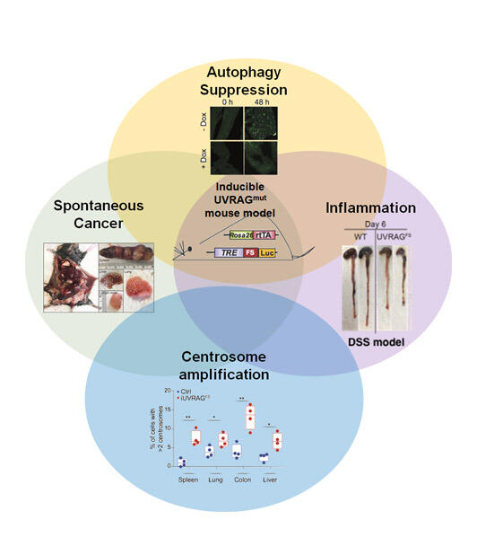 UVRAG in Autophagy, Inflammation, and Cancer