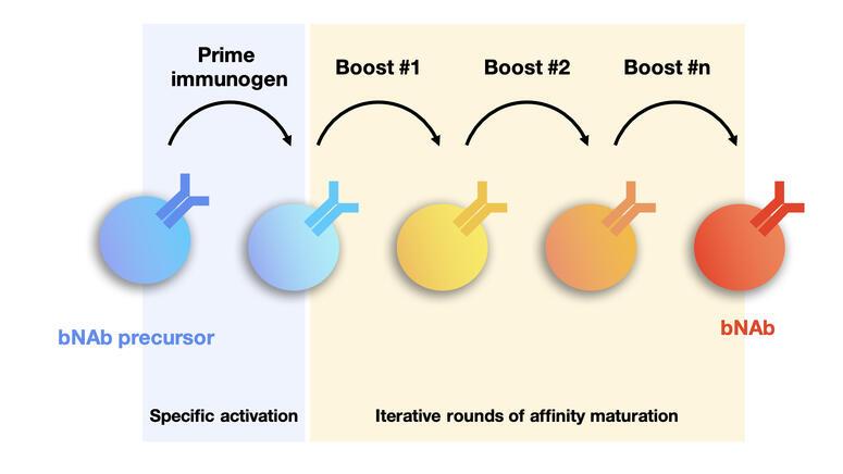 Sequential immunization.001_original